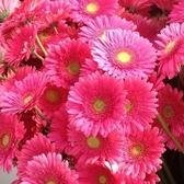 CARMO粉色非洲菊種子 園藝種子(單份) 【FR0065】