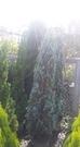 花花世界_常綠喬木--銀柏,樹形高雅--葉呈黃綠色/6尺/高約155公分/Tm