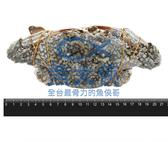 1I3B【魚大俠】SP094斯里蘭卡佐渡花蟹母蟹(約300g/隻)