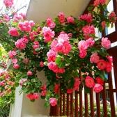花卉種子 薔薇花種子爬藤月季玫瑰籽四季開花爬墻攀援庭院室內盆栽植物花卉-凡屋