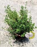5吋盆 [麝香百里香盆栽 傳統百里香盆栽 ] 活體香草植物盆栽, 可食用.料理或泡茶~半日照佳~