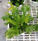 [大鹿角山蘇盆栽  5-6吋盆 ] 室內觀葉盆栽 觀賞鹿角蕨盆栽 活體室內植物盆栽 半日照佳