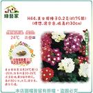 【綠藝家】H44.美女櫻種子0.2克(約75顆)(理想.混合色.株高約30cm)