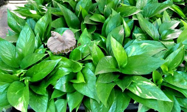 [黃金葛 綠蘿 水耕植物] 需自備花器  室內佳