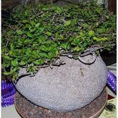 CARMO火星人種子(3顆裝)多肉植物塊根種子【B25】