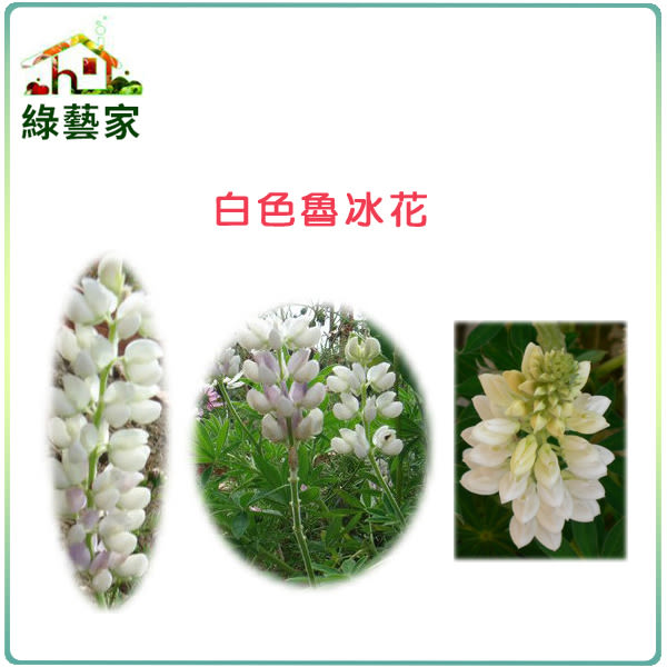 【綠藝家】大包裝H06.魯冰花(旺花白色)種子500顆