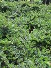 花花世界_襯景植物--**彩色辣椒(隨機出)**-- 玲瓏可愛/3吋盆/高10-20cm/TS