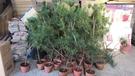 花花世界_常綠植物--黑松--(無法超取)**松樹**/5吋盆/高1米/TC