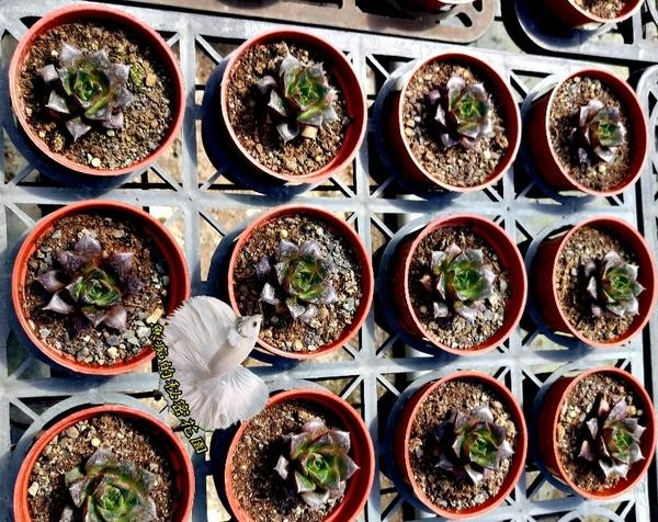 [大河錦 大合錦 大和錦多肉] 3吋盆活體多肉植物 仙人掌多肉盆栽