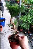 花花世界_造型盆栽--黑松--造型美觀--4吋盆/15-20公分/Ts