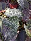 花花世界_室內植物--柏金蔓綠絨--**...