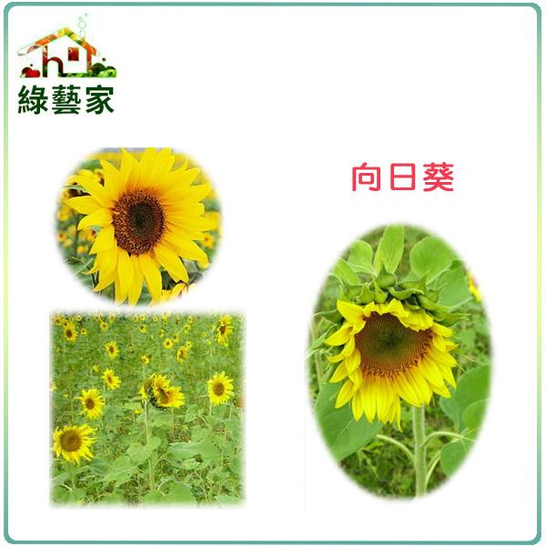 【綠藝家】H01.向日葵種子150顆