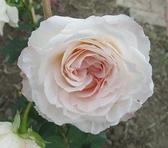 花花世界_玫瑰苗--粉紅輕紗,Pink Chiffom--強香/3.5吋盆苗/高10~25公分/Tm
