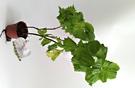 香草植物 青紫蘇盆栽  3吋盆活體盆栽, 可食用可泡茶