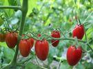[嘉義]採果體驗-豐碩果園〔8-9月香瓜、12月-隔年5月蕃茄〕