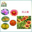【綠藝家】H03.天人菊種子200顆