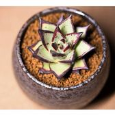 ⓒ烏木黑檀汁種子 (10顆裝) 景天多肉植物種子【C13】