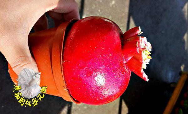 [好彩頭盆栽 紅菜頭盆栽] 3寸盆 活體蔬菜植物盆栽 過年送禮小品盆栽
