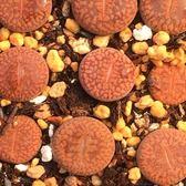 CARMO生石花C16種子(10顆裝)【F52-9】