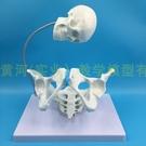 胎兒助產示教模型 女性盆骨模型 分娩骨盆...