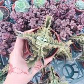 〔新手入門〕CARM馬爾他十字仙女之舞多肉植物成株(3吋)【Z0168】