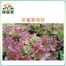【綠藝家】A44.紅葉皺葉萵苣種子150...