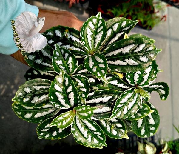 活體 [ 冷水花 ] 室內植物 3吋盆栽 送禮小品盆栽