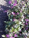 花花世界_季節花卉--紫雲杜鵑--**紫色花好美**/6吋/高30-40CM/TC