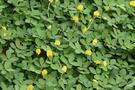 地被植物 ** 蔓花生/1組10棵 ** 3吋盆/高10-20cm / .生性強健【花花世界玫瑰園】R