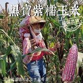 【果之蔬-全省免運】黑寶紫糯米玉米X10斤±10%(250-300克±10%/根)