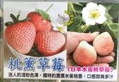 [日本水蜜桃草莓 桃薰草莓] 5-6寸盆 新品種草莓苗 ~季節限定~ 先確認有沒有貨再下標