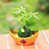 【迎光】元寶發財樹植栽