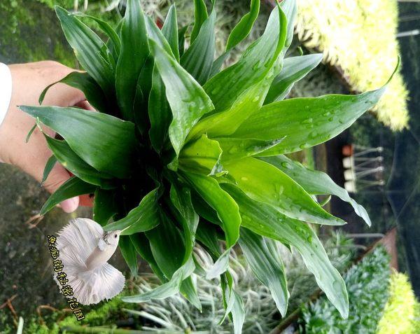 [阿波蘿千年木] 室內植物 3吋活體盆栽 送禮小品盆栽