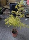 花花世界_常綠喬木--黃金串錢柳(自然型)--**黃金香柳、千層金**/6吋盆/高40-60公分/TC