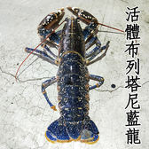 ㊣盅龐水產◇活體布列塔尼藍龍蝦◇法國藍龍蝦 肉超嫩 團購 批發