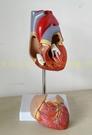 :1人體心臟模型B超彩超聲醫用心內科心臟解剖教學模型自然大心臟