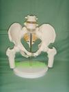 女性骨盆模型 髂骨坐骨恥骨演示模型 自然大女性盆骨帶二節腰椎
