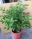 花花世界_襯景植物--香水金露 A級,常綠灌木一蔓性狀略為下垂--/6吋盆苗/高20-60公分/Tm