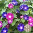 CARMO蔓性牽牛花種子 園藝種子(100顆) 【FR0008】