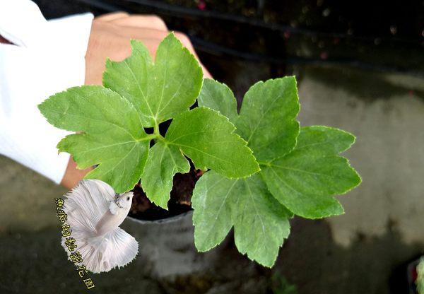 [明日葉盆栽] 香草藥用植物 2.5-3吋活體花卉盆栽 送禮小品盆栽