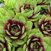 CARMO景天Sempervivum Shiva種子(10顆裝) 【K55-1】