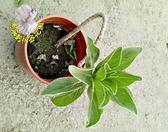 [彎曲造型白水木] 6寸盆 室外植物 多年生觀賞盆栽