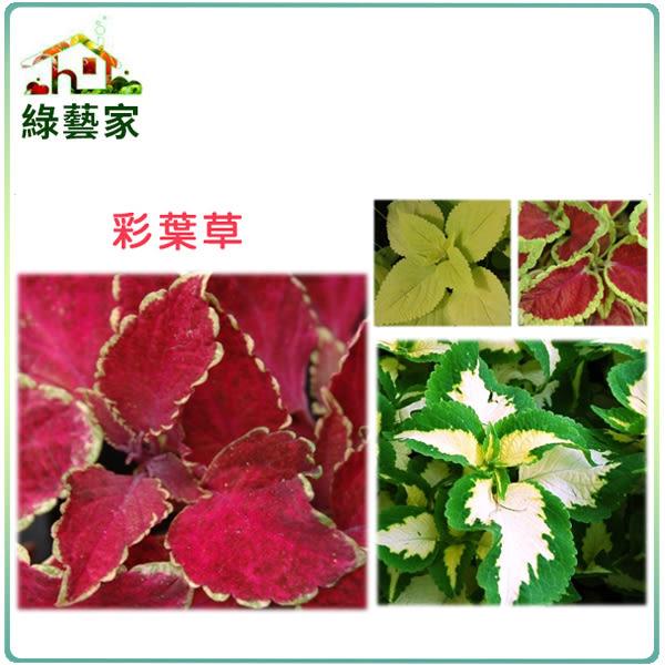 【綠藝家】大包裝H27.彩葉草(混合色,高40~50cm)種子900顆
