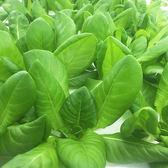 預購 【安心蔬食】水耕蔬菜-奶油萵苣(150g)