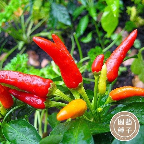 CARMO台灣朝天椒種子 園藝種子(10顆) 【FR0024】