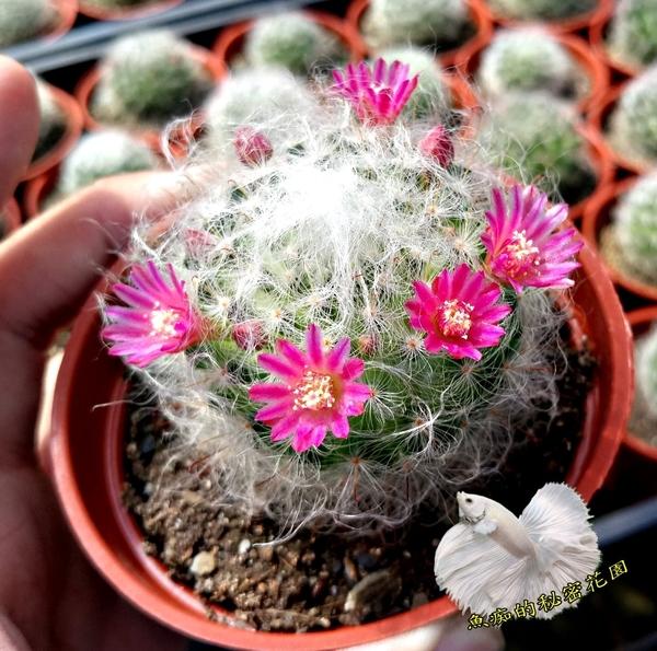 [白毛仙人掌 品種: 高砂/杜威/白雪 隨機出] 3吋盆 活體仙人掌盆栽 送禮小盆栽. 購買時不一定!有花