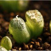 ⓒ鱗芹屬 Bulbine mesembryanthemoides種子 (3顆裝)【J61】