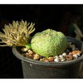 ⓒ方凝蹄玉種子(1顆裝) 進口多肉植物/仙人掌種子【D55】