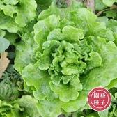 CARMO義大利四季生菜種子 園藝種子(200顆) 【FR0046】