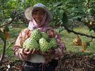 [台東]採果體驗-初鹿椰子林〔釋迦〕...